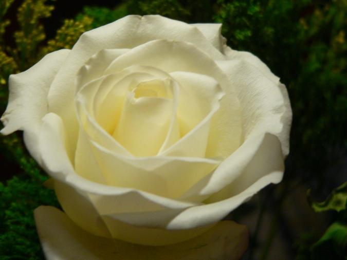 Photo of a cream rose, RVJart.com