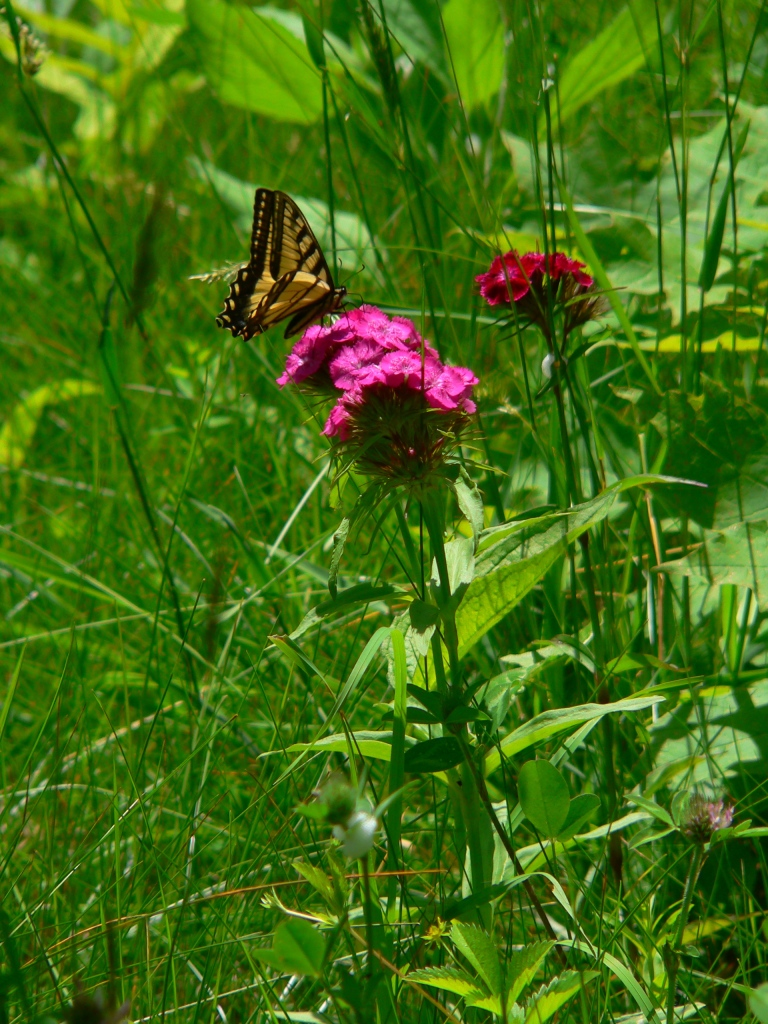Sweet William and Swallowtail, photo Roger Vincent Jasaitis, RVJart.com