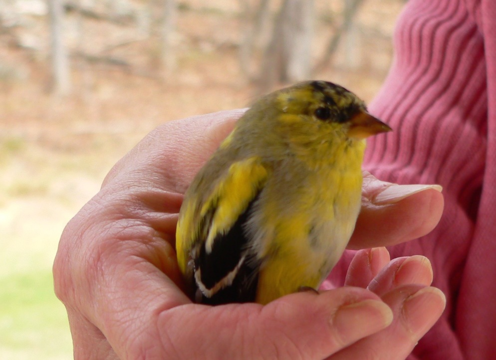 Goldfinch in Hand, photo by Roger Vincent Jasaitis, RVJart.com, copyright 2014